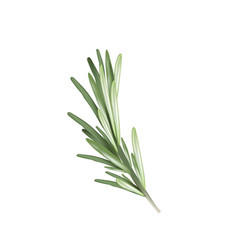 rosemary herb spice rosemary vector image vector image