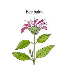 Wild bergamot or bee balm vector