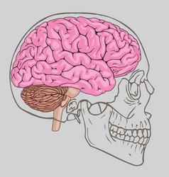 brain skull vector image vector image