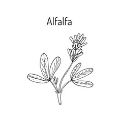 Alfalfa botanical vector