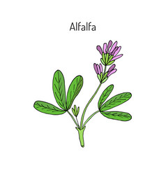 Alfalfa medicago sativa vector