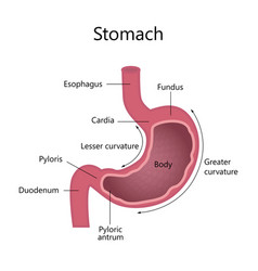 internal structure human stomach vector image vector image