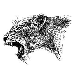 Hand sketch roaring lioness head vector
