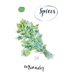 watercolor fresh green coriander leaves vector image