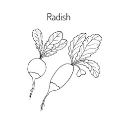 radishes with leaves vector image vector image