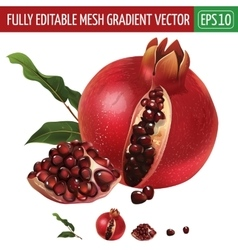 Pomegranate on white background vector image