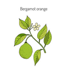 Bergamot orange branch vector