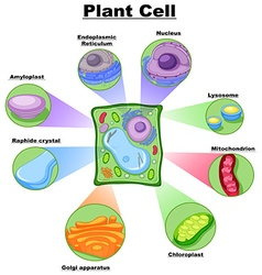 Diagram showing plant cell vector