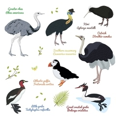 Set of different birds cassowary southern vector