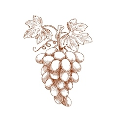 Bunch of grape fruit on grapevine sketch vector
