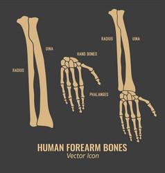 Human forearm bones icons vector