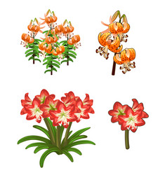 Beautiful red and orange lilies flowers vector