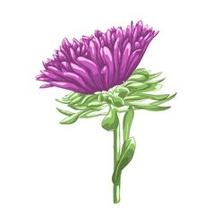 Beautiful purple aster isolated on white backgroun vector