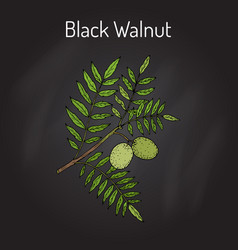 Eastern black walnut juglans nigra vector