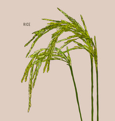 Green rice vector