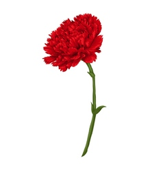 Beautiful red carnation isolated on white vector