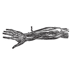 Nerves of the forearm and hand vintage vector