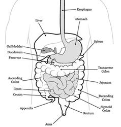 Human abdomen vector