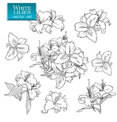 Outline drawings of white lilies vector image vector image