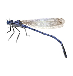 Blue dragonfly with folded wings isolated on white vector