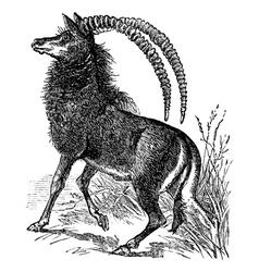 Sable antelope niger engraving vector image vector image