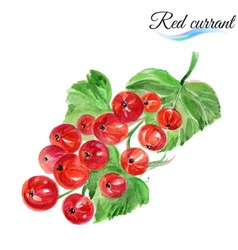 Watercolor red currant vector image