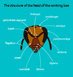 The structure of the head of the working bee color vector