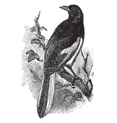 Magpie robin vintage vector