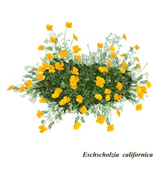 Eschscholzia californica vector