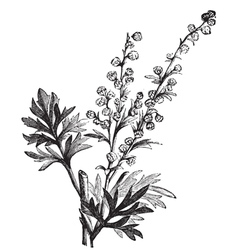 Wormwood vintage engraving vector