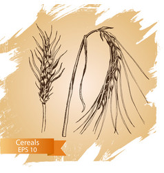 hand drawn cereal crops sketches farm vector image