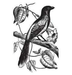 Magpie shrike vintage vector