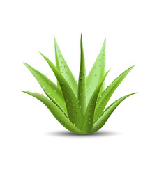 aloe vera with fresh drops of water vector image