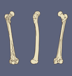 femur bone anatomy vector image vector image