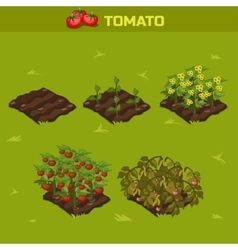 SET 1 Isometric Stage of growth Tomato vector image