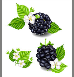 composition of ripe blackberries  flowers and vector image