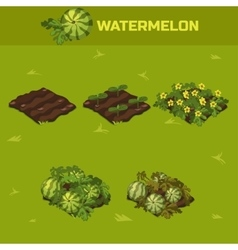SET 4 Isometric Stage of growth Waterrmelon vector image vector image
