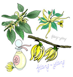 Scented ylang-ylang on a branch vector