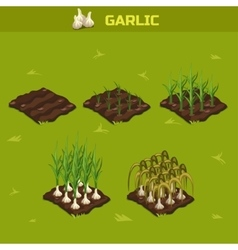 Set 7 isometric stage of growth garlic vector