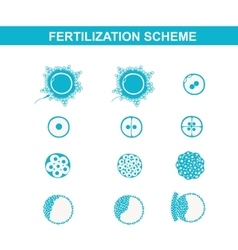 Schematic image of fertilization in mammals vector