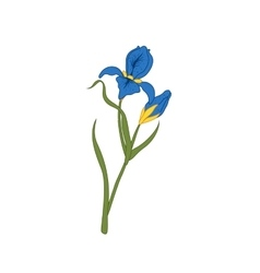 flower iris isolated on white background floral vector image