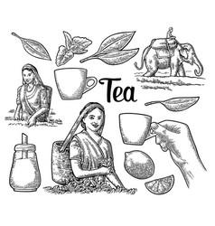 Female tea pickers harvesting leaves rider on vector