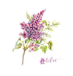 Watercolor lilac flower vector