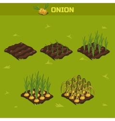 SET 8 Isometric Stage of growth Onion vector image