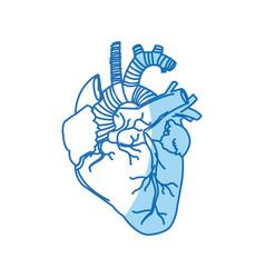 Human heart - anatomy biology healthy image vector