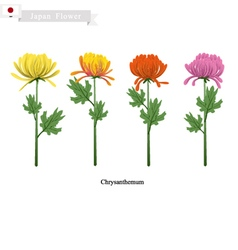 Chrysanthemum Flowers National Flower of Japan vector image