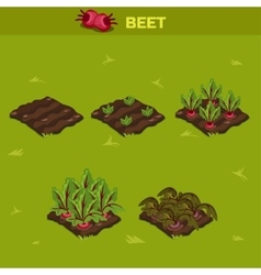 Set 10 isometric stage of growth beet vector