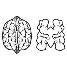 walnut vector image vector image