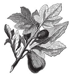 Fig plantq vintage vector