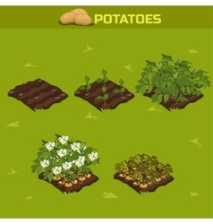 Set 11 isometric stage of growth potatoes vector